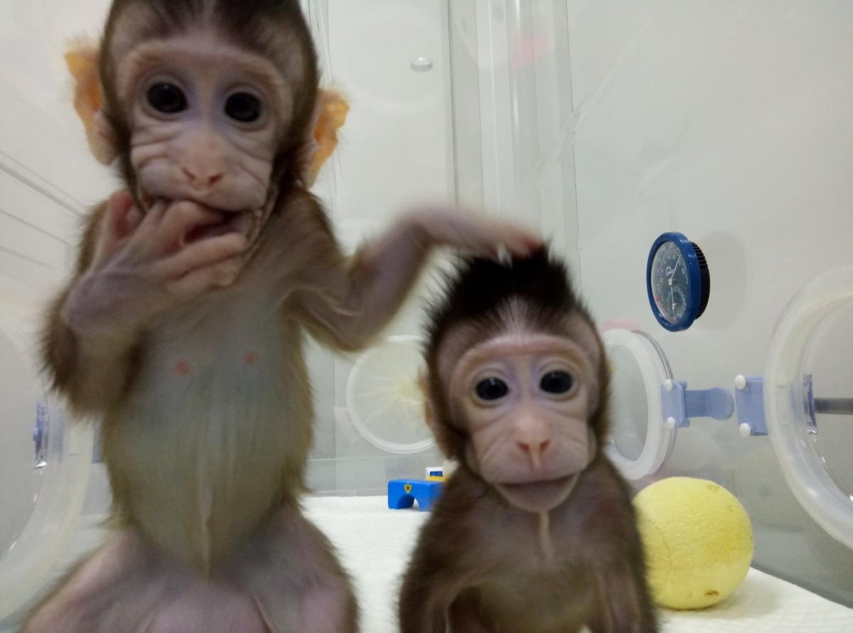 Наступною може бути людина: учені вперше клонували мавп (фоторепортаж)